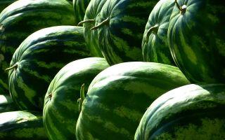 Белорусские аграрии делают ставку на арбузы